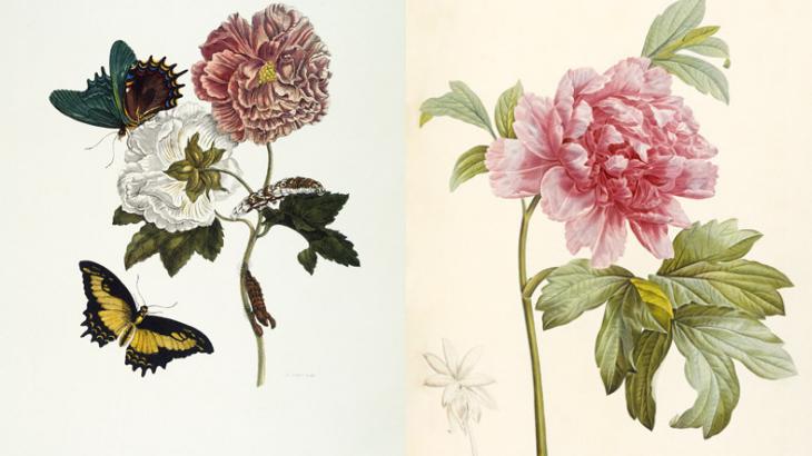 la cientifica Maria Sybilla y una de sus ilustraciones